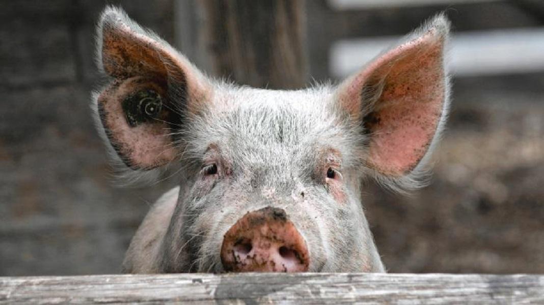 Die große Schweinerei